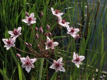 Flowering Rush Invasive Species