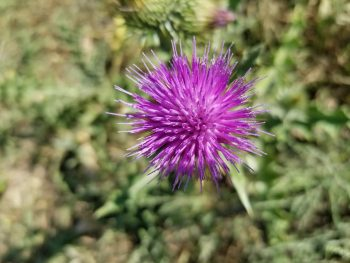 Thistle Weeds Environmental Services RM of Deer Forks